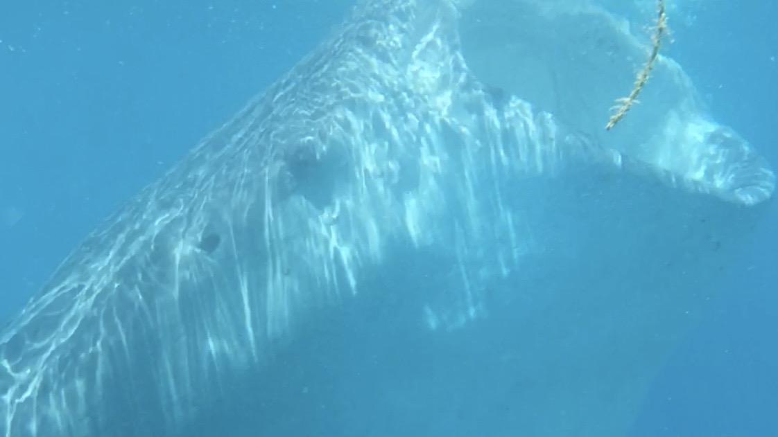【体験記】セブ旅行に行ったらジンベイザメと泳ぐツアーは絶対行きましょう